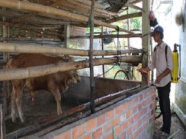 Phú Yên: Bùng phát bệnh lở mồm long móng trên đàn bò huyện Phú Hòa