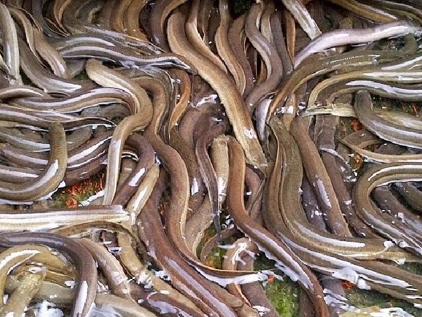 CB-Phòng trị bệnh thường gặp trên lươn
