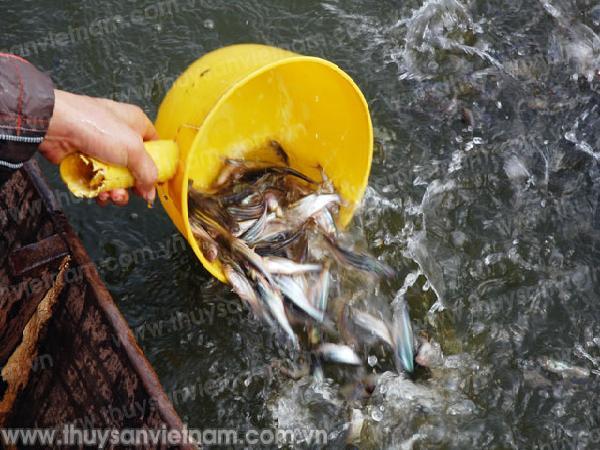 ĐBSCL: Khan hiếm cá tra giống