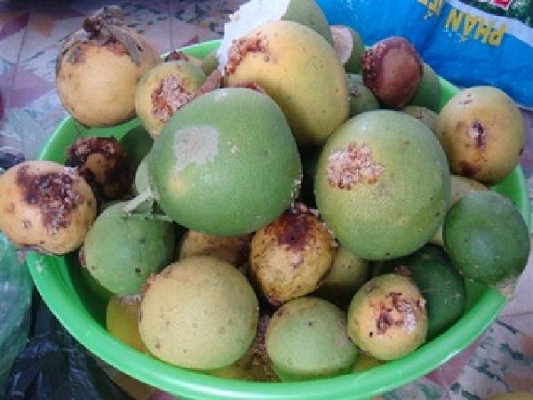 Sâu đục trái tái phát do nắng nóng