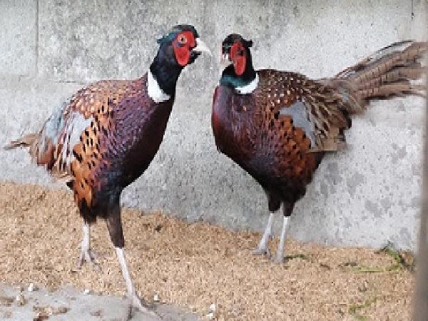 CB-Phòng và trị bệnh cho chim trĩ