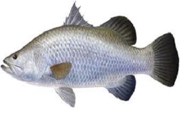 NT-Kỹ thuật nuôi thương phẩm cá chẽm trong ao