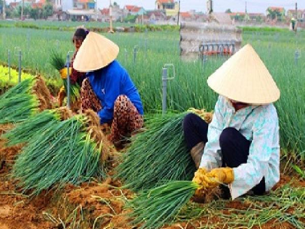 CS-Quy trình kỹ thuật trồng Hành lá