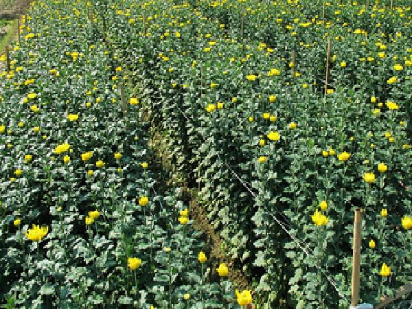 SB-Một số bệnh hại hoa cúc và cách phòng trị