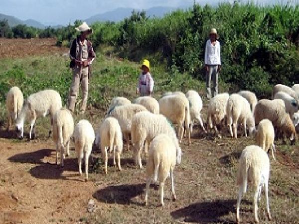 N-Kỹ thuật nuôi cừu