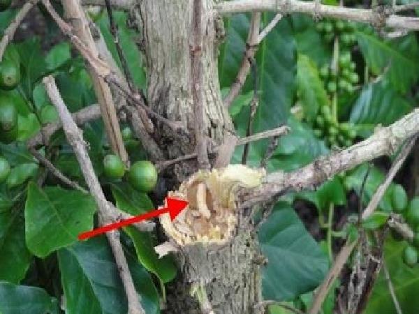 Trị tân gốc sâu đục thân trên cây ăn quả