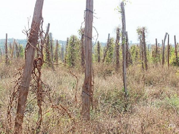 Gia Lai: Nguy cơ nhiễm bệnh từ trụ gỗ trồng tiêu
