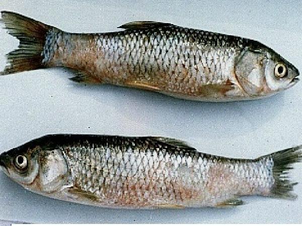 CB-Bệnh xuất huyết do virus ở cá trắm cỏ