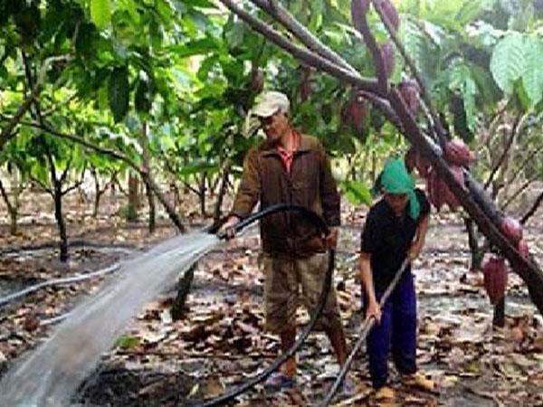 CS-Lượng nước và chu kỳ nước tưới cho cây ca cao