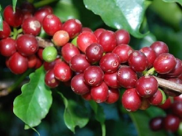 Giá cả thị trường nông sản ngày 19/04: Giá tiêu, giá cà phê đồng loạt tăng mạnh