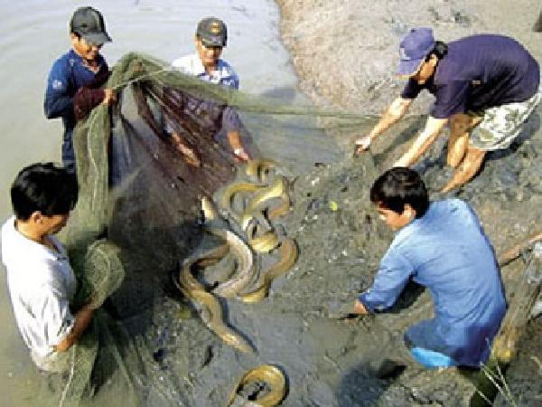 NT-Kỹ thuật nuôi cá chình thương phẩm trong ao đất