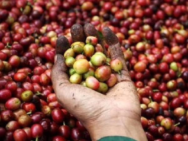 Giá thị trường nông sản 23/04: Lợn hơi giảm trở lại, cà phê giảm