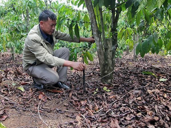 """Trồng cà phê công nghệ cao ở Nam Hà """"lợi cả đôi đường"""""""