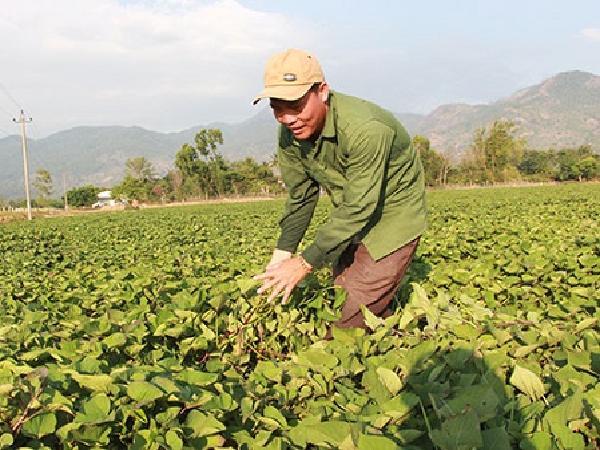 Đắk Lắk: Tiềm ẩn nhiều rủi ro trong phát triển cây khoai lang
