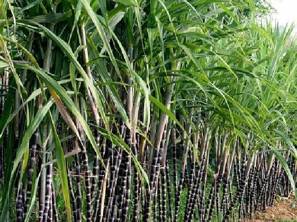 Giá cả thị trường nông sản 02/05: Giá đường giảm mạnh, giá heo tăng