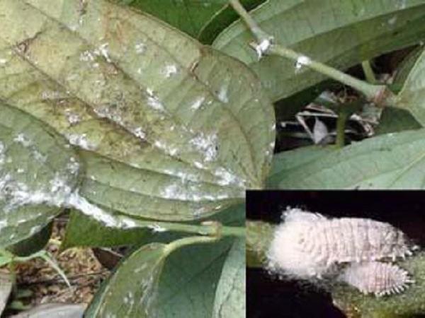 SB-Biện pháp phòng trừ rệp sáp trên cây tiêu hiệu quả