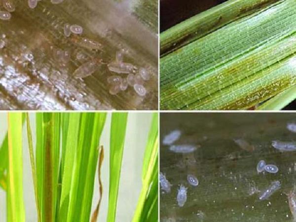 SB-Nhện gié hại lúa và biện pháp phòng trừ