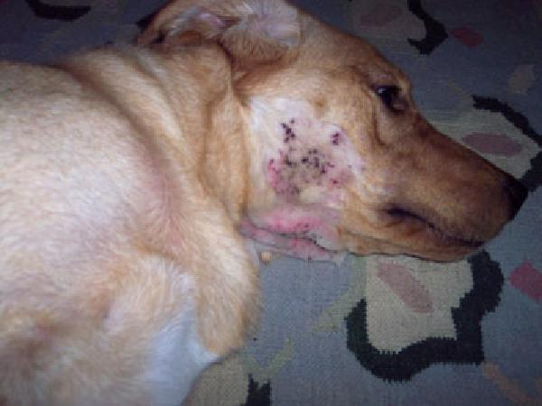 Biện pháp điều trị chó bị ghẻ nấm da và bệnh care