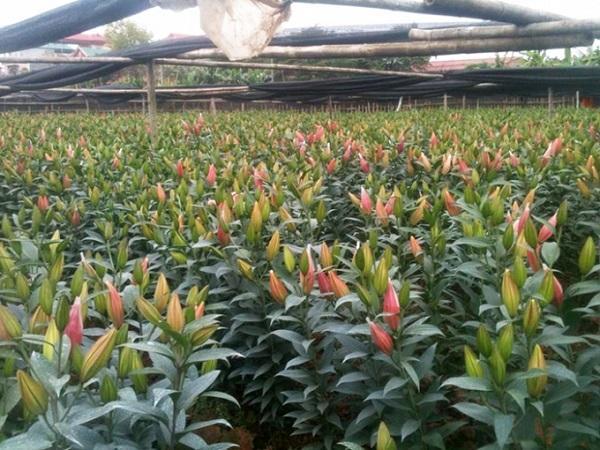 CS-Quy trình kỹ thuật trồng và chăm sóc hoa lily