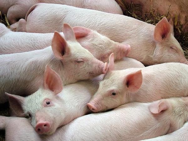 """Giá cả thị trường nông sản 14/05: Giá lợn hơi tiếp tục lên """"đỉnh"""""""