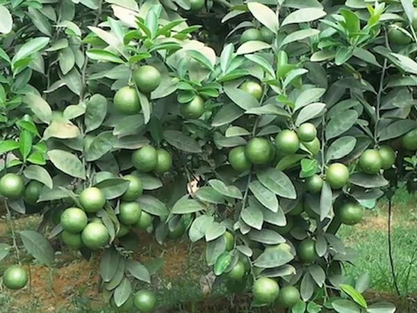 CS-Kỹ thuật trồng chanh tứ quý