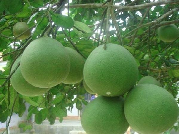 Có nên sử dụng chế phẩm sinh thái kích thích vườn mít, bưởi hay không?