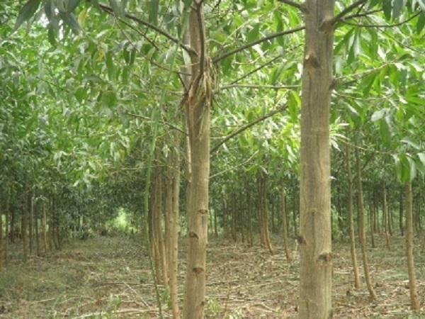 CS-Kỹ thuật trồng cây keo tai tượng