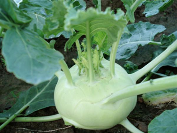 CS-Kỹ thuật trồng rau su hào chịu nhiệt