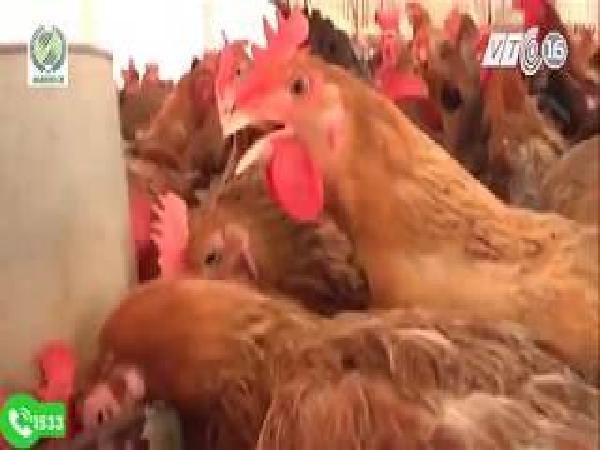 Biện pháp chống nóng cho gà trong mùa nóng