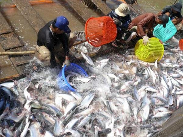 Lãi hay lỗ với cá tra ?