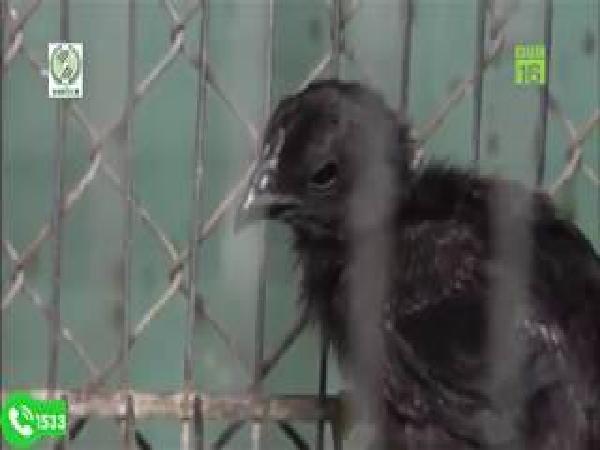 Tiết lộ kinh nghiệm chăm sóc gà đen Indonesia