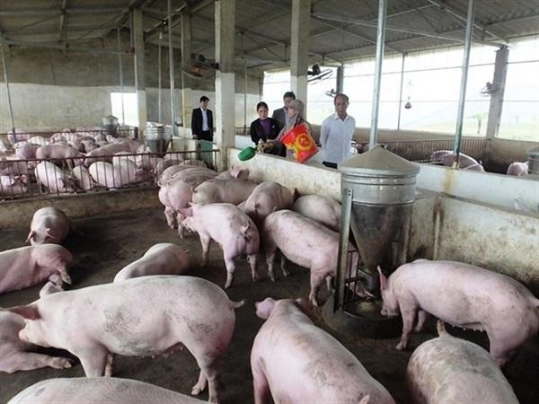 Giá lợn hơi chạm mốc 50.000 đ/kg ở nhiều nơi
