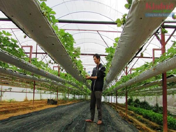 """Thành công trồng dâu tây hữu cơ của kỹ sư """"9X"""""""
