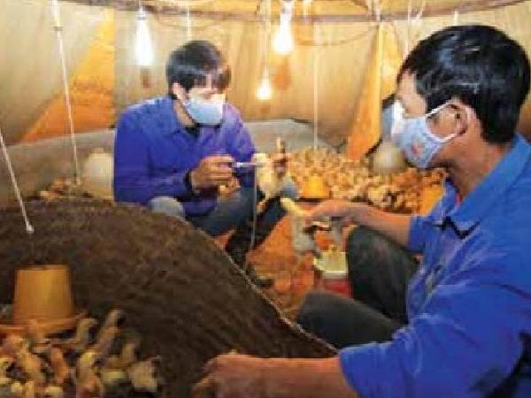 Quy trình tiêm vắc xin cho gà con