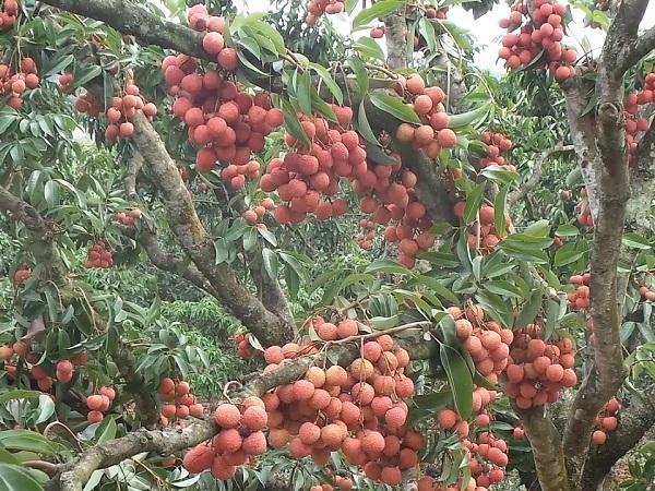 CS-Kỹ thuật xử lý và chăm sóc vải thiều ra quả trên thân cây