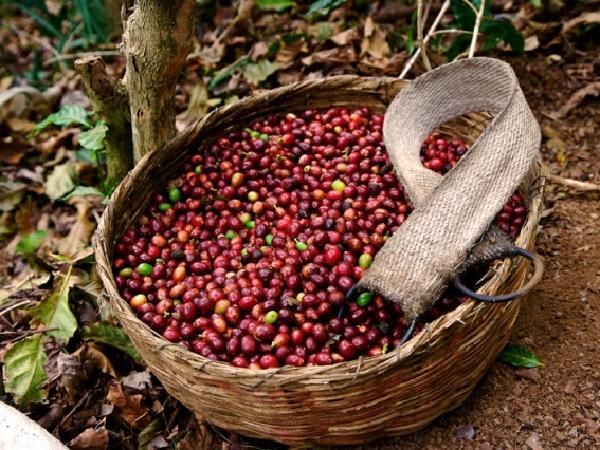Giá cà phê chưa có dấu hiệu tăng lên, giá tiêu Việt rẻ nhất thế giới
