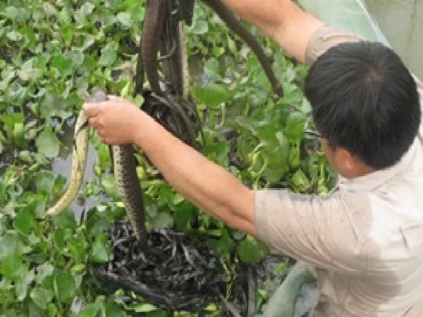 N-Hướng dẫn kỹ thuật nuôi rắn ri voi