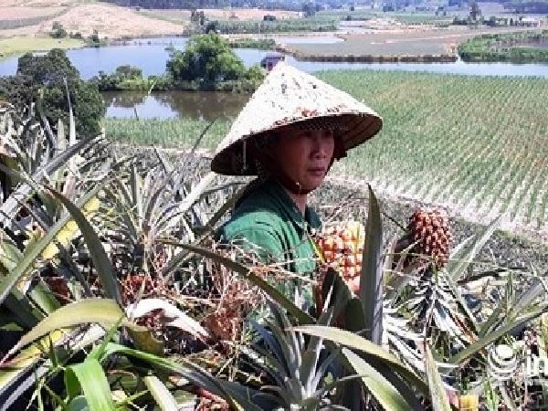 Thanh Hóa: Dứa rẻ như cho, người nông dân bỏ đầy đồng