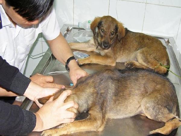Điều trị cho chó bị nhiễm giun móc