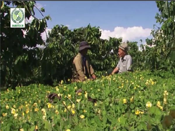 Lạ mà hay: trồng lạc dại trong vườn cà phê