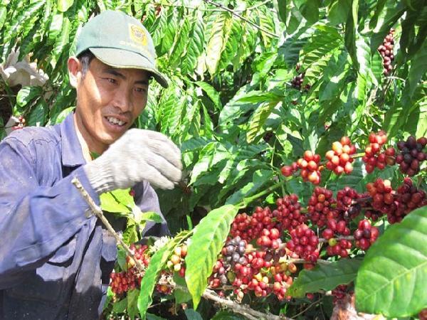 Giá cà phê nhân xô tăng nhẹ, giá tiêu tăng nhưng không bền vững