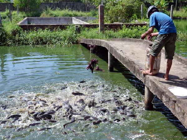 Thức ăn của cá trê là gì và nuôi như thế nào?