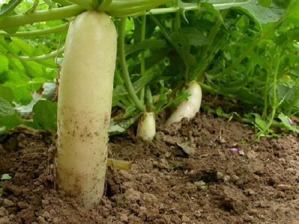 SB-Sâu bệnh hại cà rốt và biện pháp phòng trừ