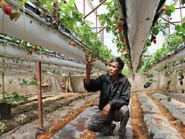 Đà Lạt: Treo dâu tây lơ lửng trên giàn, lãi 2 tỷ đồng mỗi năm