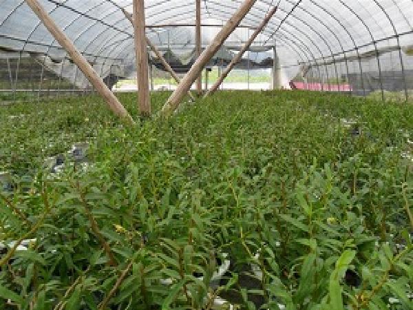 CS-Kỹ thuật trồng, chăm sóc và sơ chế thạch hộc tía