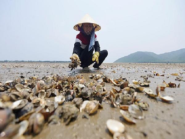 Hải Hà: Nguy cơ tái diễn tình trạng ngao chết hàng loạt