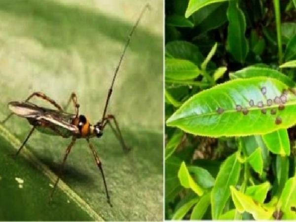 Chè ở Thái Nguyên bị bọ cánh tơ, rầy xanh gây hại