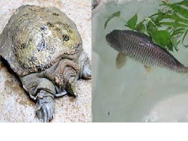 Mẹo nuôi cá trắm và ba ba cùng 1 ao cho năng suất cao