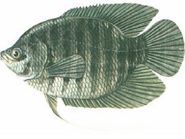 NT-Kỹ thuật nuôi cá Tai Tượng