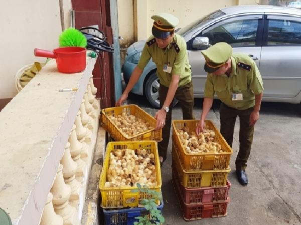 Thu giữ 1.200 con gà giống nhập lậu